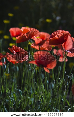 Bright red poppy flower field nature wallpaper with yellow dandelions blurred in the background - stock photo