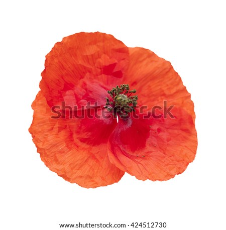 bright red poppy isolated on wjite background - stock photo