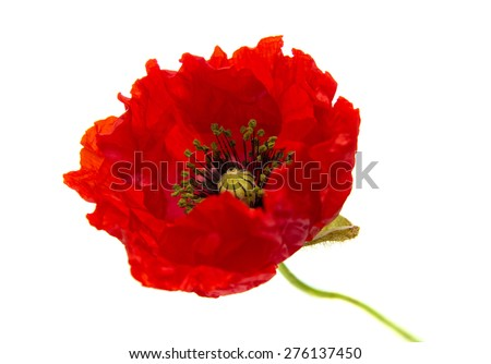 Bright red poppy, opening flower isolated on white background - stock photo