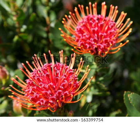 bright red protea flowers on plant with leaves in background - stock photo