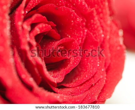 bright red rose with water drops, close-up in soft focus