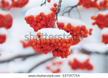 Bright red rowan under the first snow - stock photo