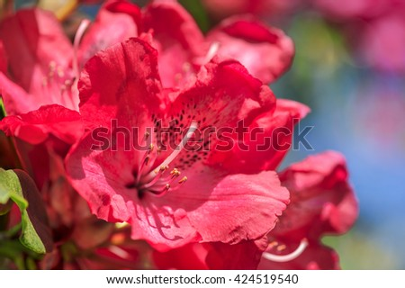 Bright red shrub of Rhododendron