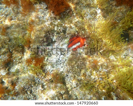 Bright red starfish hiding in a cave on a rock - stock photo