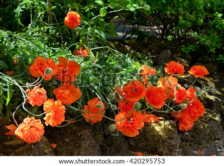 Bright red sunlit poppies flowering in the garden