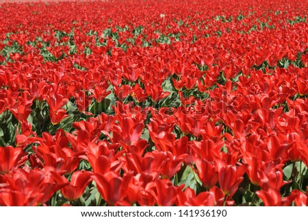 Bright red tulips at the Keukenhof gardens in The Netherlands - stock photo
