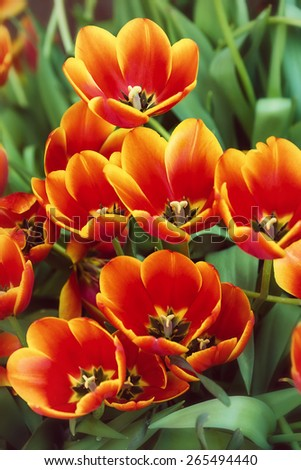 Bright red tulips in full bloom in the flowerbed. Vintage filter effect. - stock photo