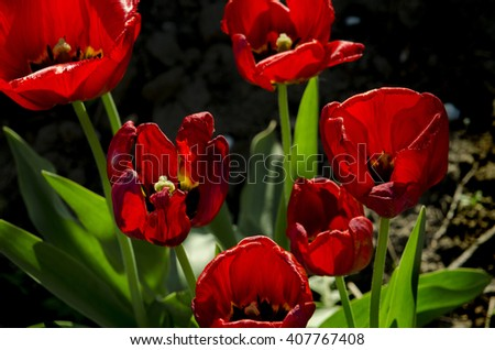 bright red tulips on a dark background - stock photo