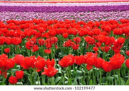 Bright red tulips with rows of colorful tulips in the background