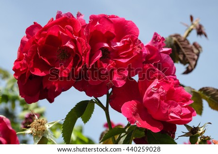 bright red wild roses against the sky