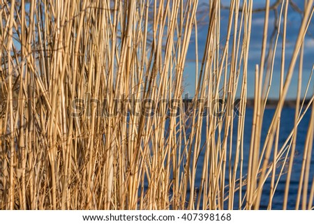 Bright reeds on the blue sky and water background. Dry reeds in the sunlight against blue lake. Sweden. Natural abstract striped pattern with place for your text. Dry stalks of cane. Spring time - stock photo