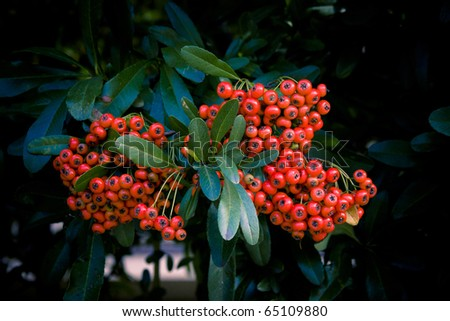 Bright scarlet Pyracantha berries - stock photo