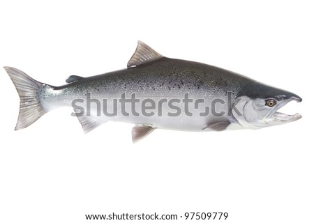 Bright silver Coho salmon isolated on white background - stock photo
