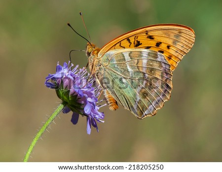 Bright Silver-washed Fritillary, a large butterfly of the family Nymphalidae, sitting on a Knautia flower with closed wings - stock photo