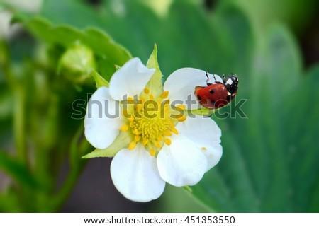 bright small flower strawberry and ladybug closeup, macro - stock photo