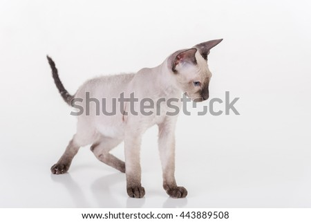 Bright Sphynx Cat Standing on the White Desk with Reflection. White Background. Looking Down.