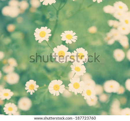 bright spring flowers, daisies on a background of green grass - stock photo
