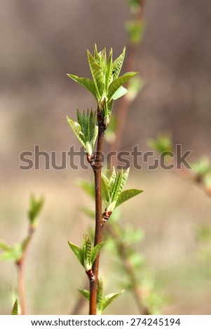 bright spring green shoots on a branch in a garden - stock photo