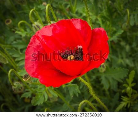 Bright spring poppy flowers  on a meadow Peloponnese, Greece - stock photo