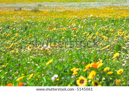 Bright spring wild flowers field in West Coast National Park, South Africa - stock photo
