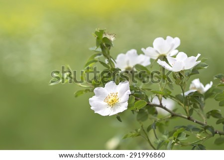 bright summer background blooming wild rose - stock photo