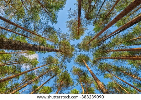 Bright summer pine forest head-up view - stock photo