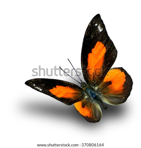 Bright Sunbeam or Malayan Sunbeam butterfly (curetis bulis) the little orange and black butterfly flying with shadow beneath on white background - stock photo