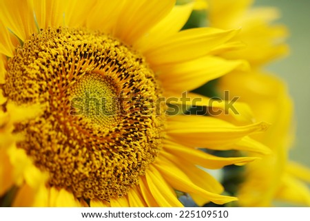bright sunflower. - stock photo