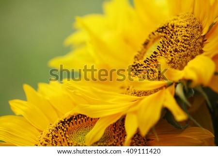 bright sunflower. - stock photo