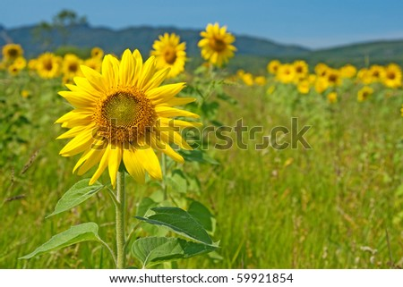 Bright sunflower field under the blue sky with mountains on the horizon.