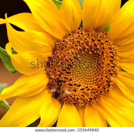 Bright sunflower with small bee inside - stock photo