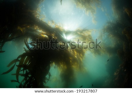 Bright sunlight filters down through long blades of giant kelp (Macrocystis pyrifera) to illuminate the shadows of a kelp forest growing along the coast of northern California.