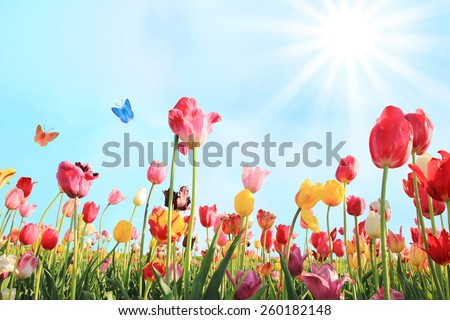 bright sunny day in may with tulip field in various colors - stock photo