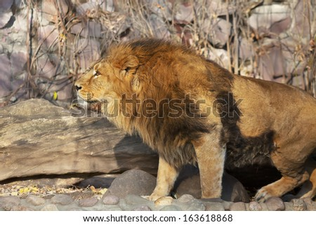 Bright sunny portrait of a young Asian lion. The King of beasts with splendid mane. Wild beauty of the biggest cat. The most dangerous and mighty predator of the world. - stock photo