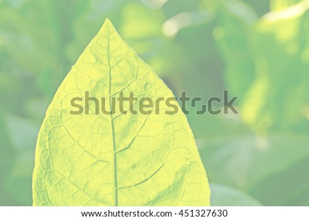 Bright tobacco leaf on blurred tobacco plantation sunny field background, Germany - stock photo