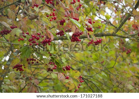 Bright, Translucent Red Currants in Germany in the Summer - stock photo