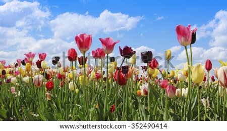 bright tulip field in miscellaneous colors and kinds, blue sky with clouds - stock photo