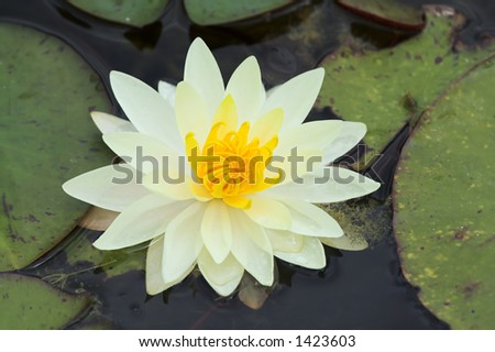 Bright white waterlily in close-up - stock photo