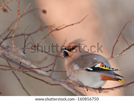 Bright winter birdie on a hawthorn branch. - stock photo