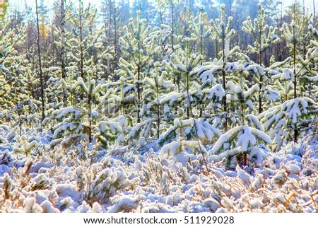 bright winter Sunny forest with snow and fir trees. early snow in autumn forest
