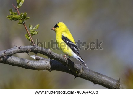 Bright yellow American Goldfinch bird perched on a tree branch in nature landscape