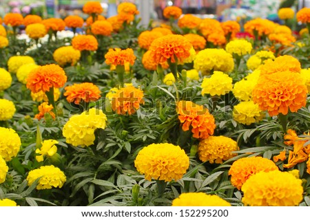 Bright yellow and orange marigolds - stock photo