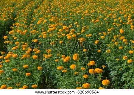Bright yellow and orange marigolds - stock photo