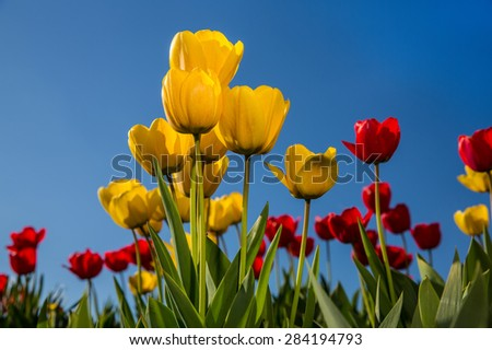 Bright yellow and red tulips against a vivid blue sky.