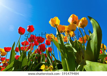 Bright yellow and red tulips on  blue sky background. Colorful spring composition  - stock photo
