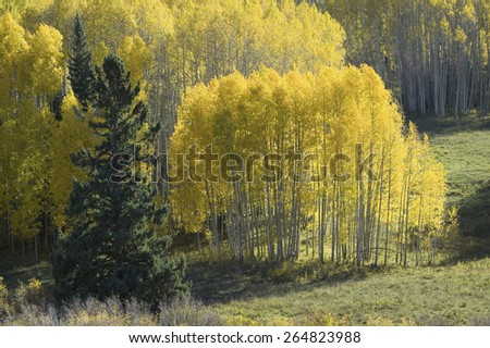 Bright yellow Aspens near Crested Butte, Colorado