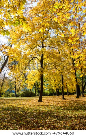 bright yellow autumn chestnut trees in the park