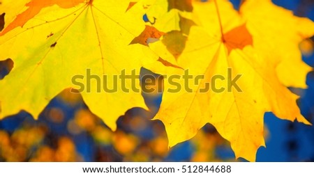 bright yellow autumn maple leaf