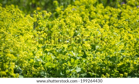 Bright yellow budding and blooming Lady's Mantle or Alchemilla mollis plants back lit by the low late afternoon sunlight. - stock photo