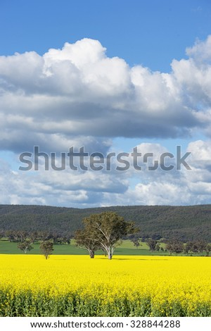 Bright yellow canola crop in spring - stock photo